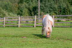 Little miniature horse Stock Photography