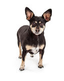 Little Miniature Pinscher Chihuahua Crossbreed Dog Royalty Free Stock Images