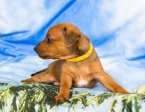 Miniature pinscher puppy. Cute red Miniature Pinscher puppy looking sideways, isolated on a blue background Royalty Free Stock Photo