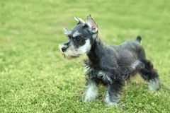 Little Minuature Schnauzer Puppy Dog Stock Image