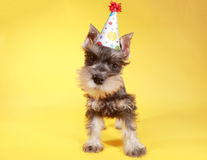 Little Minuature Schnauzer Puppy Dog Stock Images