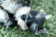 Little Minuature Schnauzer Puppy Dog Stock Photo