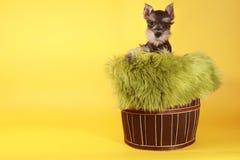 Little Minuature Schnauzer Puppy Dog Stock Photos