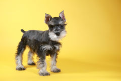 Little Minuature Schnauzer Puppy Dog Royalty Free Stock Photos
