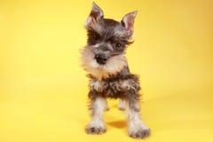 Little Minuature Schnauzer Puppy Dog Stock Image