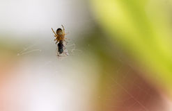 Little 3 mm spider Royalty Free Stock Photos