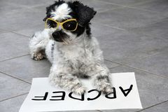 Little moggy dog learns to read. Intelligent little mixed-breed dog with glasses learns to read and practices the alphabet stock photo