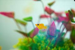 Little Molly fish, Poecilia latipinna in fish tank or aquarium royalty free stock photo