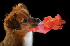 Little mongrel dog with gift in his snout. Cute little moggy dog with gift in his snout A voucher for birthday valentine, mother`s day, day or for surprise royalty free stock image