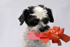 Little mongrel dog with gift in his snout. Cute little moggy dog with gift in his snout A voucher for birthday valentine, mother`s day, day or for surprise stock photography
