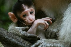 Little monkey Stock Photography