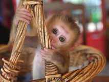 Free Little Monkey Royalty Free Stock Images - 13762149