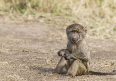 Little Monkey. Young baboon, Masai Mara National Reserve, Kenya, East Africa royalty free stock image