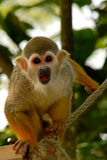 Little monkey. In the park Paradisio (Pairi Daiza) in Belgium Royalty Free Stock Images