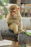Little Monkey Stock Image