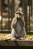 Little monkey Royalty Free Stock Photography
