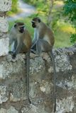 Little monkey in Africa city sit on a fence. Wild monkey in Africa nature wildlife. African wildlife primate animal monkey stock photos