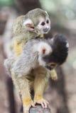 Little Monkey Baby Stock Images