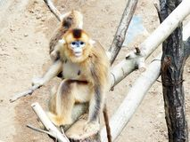 Little Monkey Stock Photo