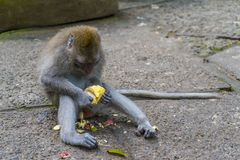 Little monkey and banana. Little monkey eat banana in monkey sanctuary on the Bali Island in Indonesia stock image
