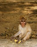 Long-tailed Macaque Monkey eat banana. sitting on the rocks royalty free stock photos