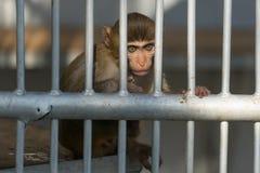 Little monkey with big sad eyes sits behind a thick grille. Little monkey sad eyes thick silver grille bondage animal zoo Royalty Free Stock Photography