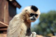 Little monkey. Black and white Royalty Free Stock Photo