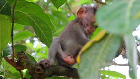 Little monkey on the branch in a Sacred Monkey Forest stock footage