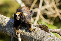 A little monkey from Brazil Royalty Free Stock Photography