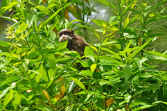 Little monkey in the bush. Little monkey in the bush in search of food Royalty Free Stock Photo
