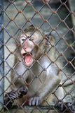 Little Monkey in the Cage Stock Images
