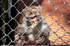 Little monkey in a cage, eating an apple behind bars. Royalty Free Stock Images
