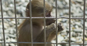 Little Monkey in Captivity. Close up of a baby monkey eating a nut after the bars, living in captivity stock video footage