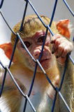 Little monkey in cage Stock Image