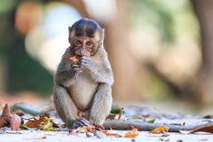 Little Monkey (Crab-eating macaque) eating fruit Stock Photo