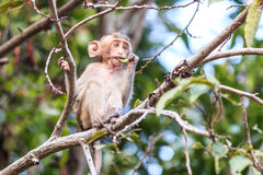 Little Monkey (Crab-eating macaque) on tree Royalty Free Stock Images