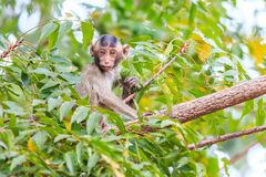 Little Monkey (Crab-eating macaque) on tree Royalty Free Stock Photo