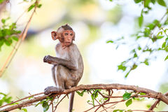 Little Monkey (Crab-eating macaque) on tree Royalty Free Stock Image