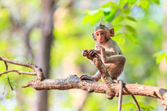 Little Monkey (Crab-eating macaque) on tree Royalty Free Stock Photos