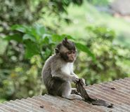 Little Monkey. Cute monkey on a small roof in the forest. This photo was captured in Bali royalty free stock photography