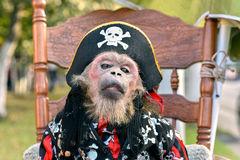 Little monkey, dressed in pirate costume sits on a chair Stock Photography