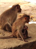 The little monkey drinks mother`s milk Royalty Free Stock Photography