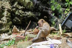 Little monkey eating coconut in the hindu temple, India stock image