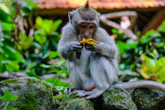 Little monkey eating Royalty Free Stock Images