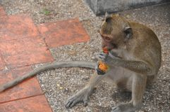 Little monkey eating fruit. Free monkey at Sammook Hill Chonburi Thailand Royalty Free Stock Photo