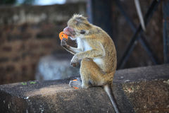 Little monkey had stolen a biscuit. Sri Lanka Royalty Free Stock Photography