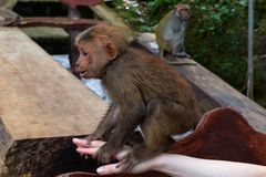 Little Monkey on the Hand. Adorable little monkey sitting on the woman`s hand while another one is watching her in the background royalty free stock images