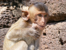 Little Monkey. Hide something in mouth at Lopburi Province Thailand Stock Photos