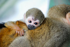 Little monkey hug your mom. In Brazil Royalty Free Stock Image