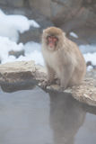 Japanese snow monkey looking at the camera Royalty Free Stock Photos
